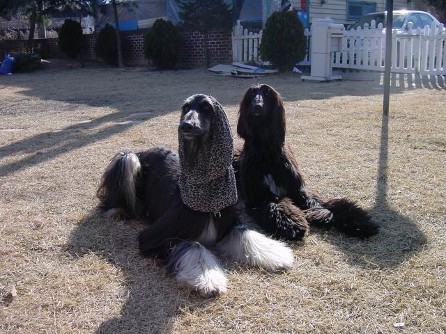 Tai and Kissy, they will be foundation afghans of our Spine Afghan Hound.